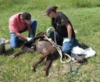 equine_castration